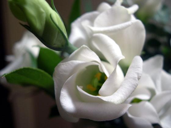 اجْعَلِ حَيَاتِكَ وَرْدَةٌ بَيْضَاءُ ... 2004.02.20_white_flower